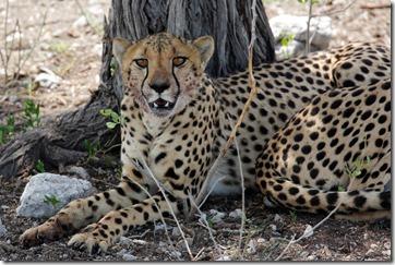 Cheetah head 7724