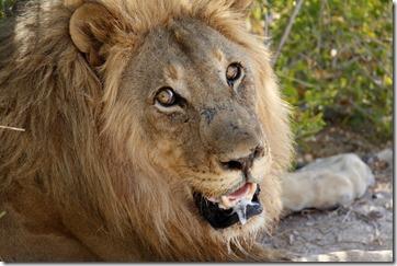 Lion male head 7887