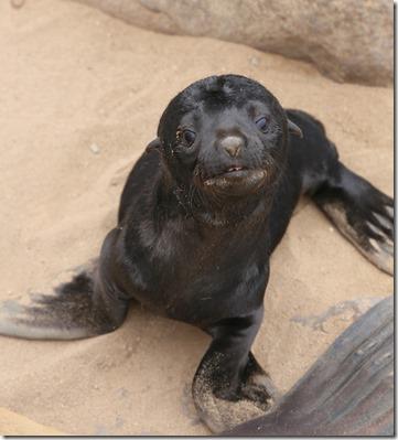 Seal pup IMG_4178